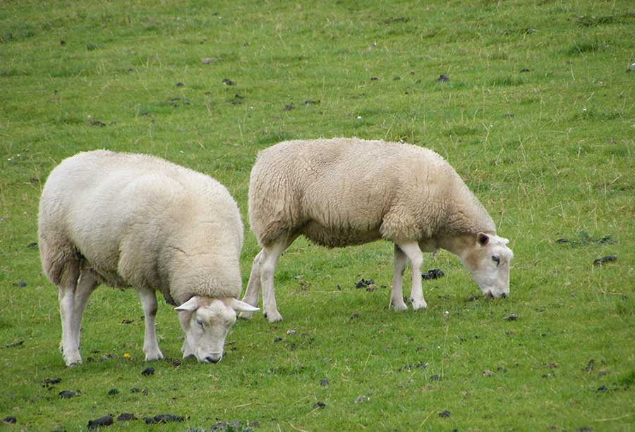 Schafe auf dem Deich an der Unterelbe