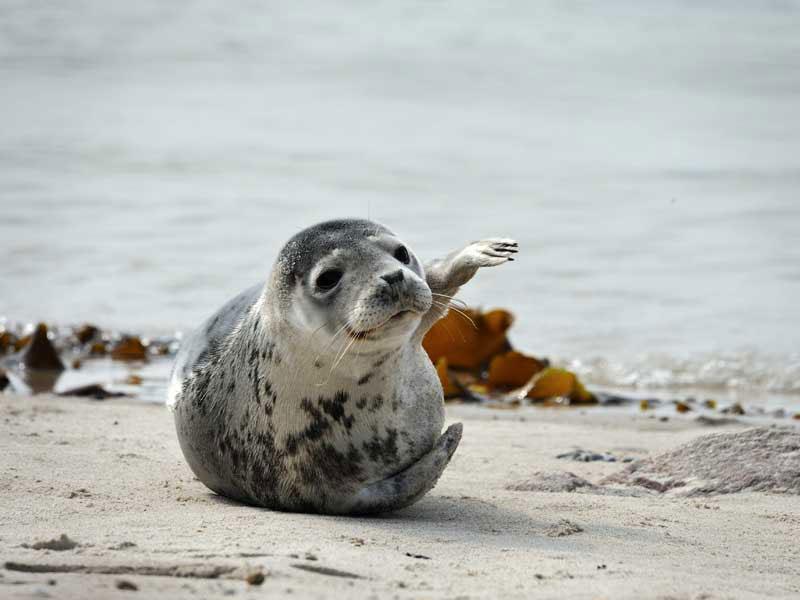 Seehund auf Sandbank im Wattenmeer