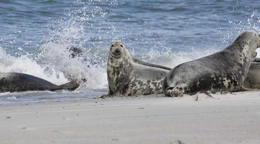 Seehunde vor Amrum und Föhr