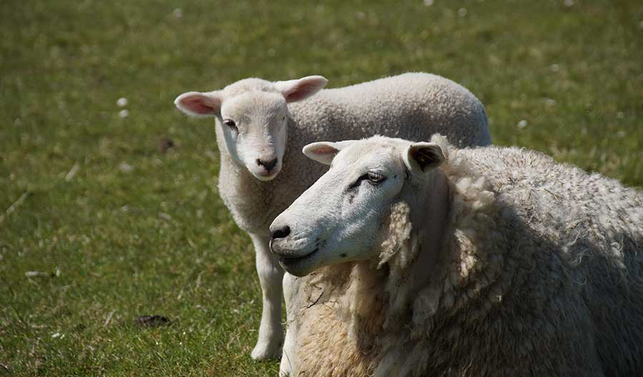 Schafe an der Unterelbe